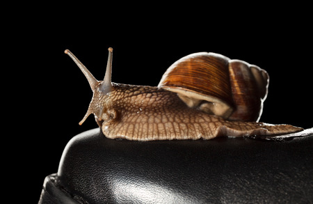 mollusca: Macro of garden snail (Helix pomatia) resting on black shoe - slow delivery concept Stock Photo