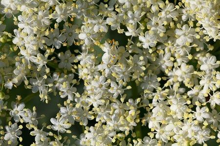 umbel: Close-up of elderflowers (Sambucus nigra) umbel covered by dew drops as background