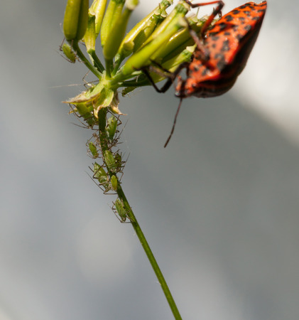 Macro of plant louse colony and Shield bug on grass stem over grey background photo