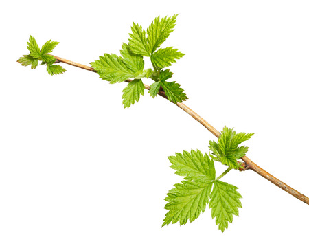 Macro of blackberry (Rubus sp.) twig with new leaves top view isolated over white Stock Photo - 34326174