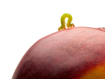 inchworm: Macro of looper climbing on red peach isolated on white