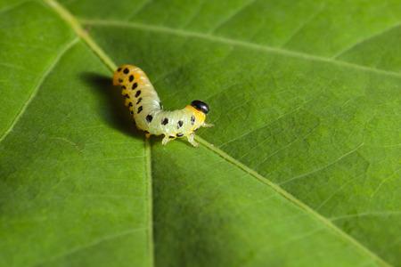 Caterpillar on green leaf background photo