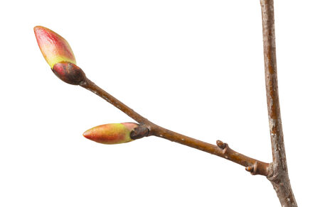 unfold: Macro of tree sprig with buds ready to unfold isolated on white Stock Photo