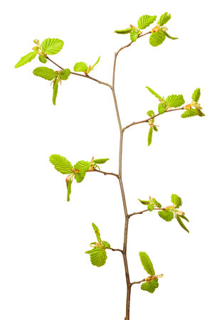 unfold: Close-up of linden (Tilia sp.) with new unfold buds isolated on white background