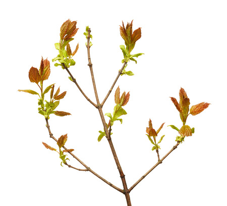 unfold: Close-up of buds bloom and leaves on tree branch at spring