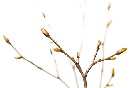 unfold: Close-up of tree twigs bunch with ready to unfold buds isolated on white Stock Photo
