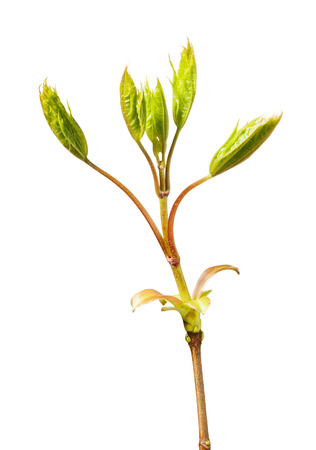 Macro of fresh maple foliage on twig top isolated on white background photo
