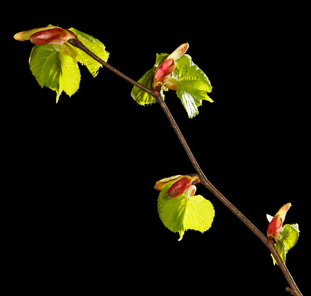 unfold: Macro of linden (Tilia sp.) twig with new unfold leaves-buds isolated on black
