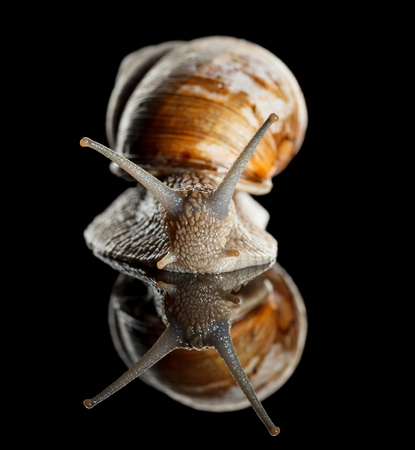 slithery: Macro portrait of edible snail (Helix pomatia)  isolated on black reflective background