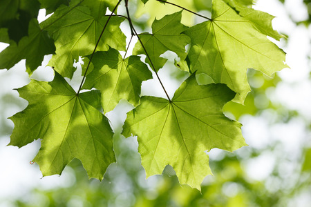 aceraceae: Close up of maple leaves at sunny morning over light blurry foliage background