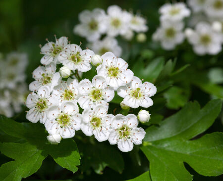 crata�gus: Macro de quickthorn (Crataegus monogyna) flor blanca en primavera