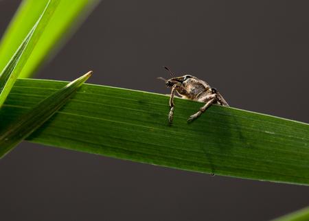 weevil: Macro of snout weevil (Otiorrhynchus sulcatus) on grass blade