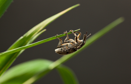 weevil: Macro of pest snout weevil (Otiorrhynchus sulcatus) on cereal grass top, low angle side view Stock Photo