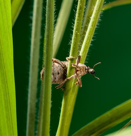weevil: Macro of weevil beetle (Otiorrhynchus sulcatus) hanging on grass stalk