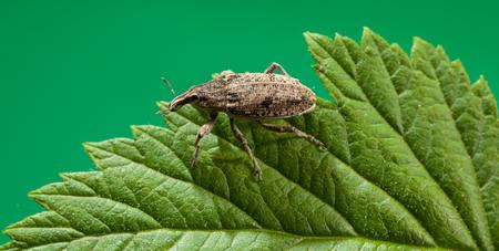 weevil: Macro of weevil (Otiorrhynchus sulcatus) on leaf over green background