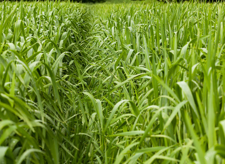 agrarian: Close-up of path across green cereal field