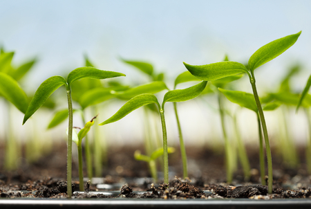 plantlet: Macro of seedlings potted in peat tray over blue sky background Stock Photo