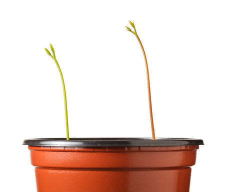 strive for: Closeup of two sprouts in pot reached for light isolated on white