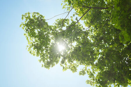 aceraceae: The canopy of maple tree over clear blue sky, with the sun shining through