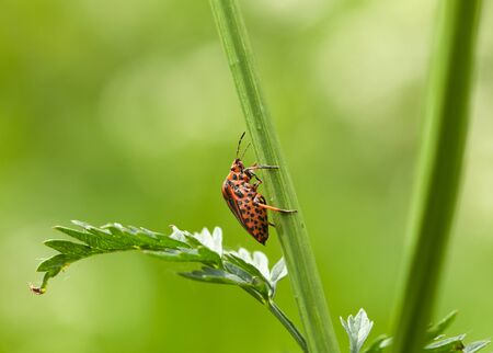 graphosoma: macro of shield bug profile (Graphosoma lineatum) over meadow background