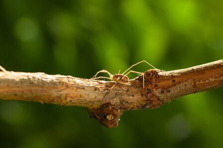 Macro of  daddy long legs(Opilio sp.) concealed on tree branch Stock Photo
