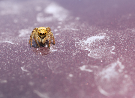 jumping spider: Jumping spider (Salticus sp.) crawling over red plate