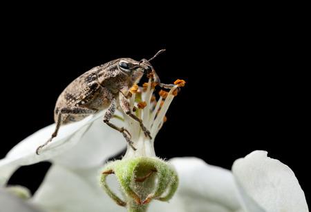 Macro of weevil (Otiorrhynchus sulcatus) feeding on apple flower isolated on black photo