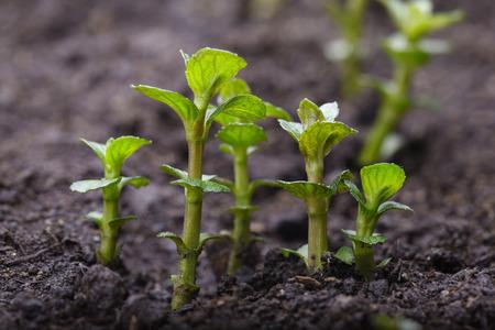 crecimiento planta: Macro de menta (Mentha) Braird que crece en la tierra cultivada