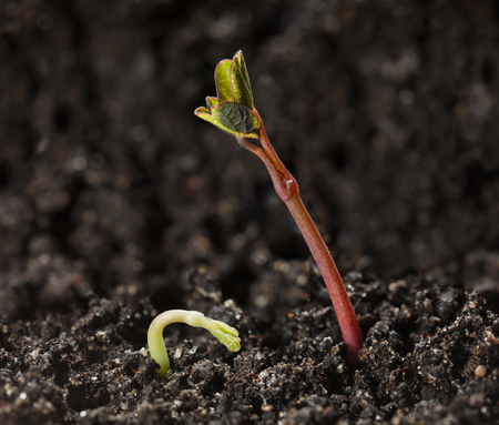 plantlet: Macro of nasturtium (Tropaeolum majus) germ and shoot over soil background