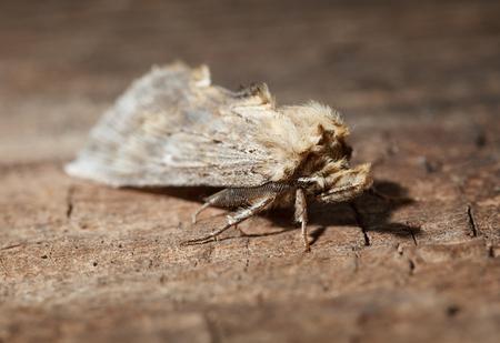 Moth (lepidoptera) sitting on wood background Stock Photo