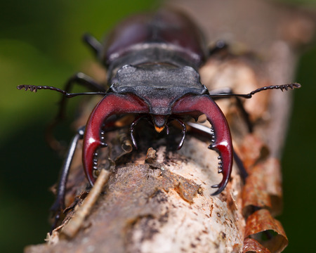 lucanus: Macro front view of male stag beetle (Lucanus cervus) on tree trunk
