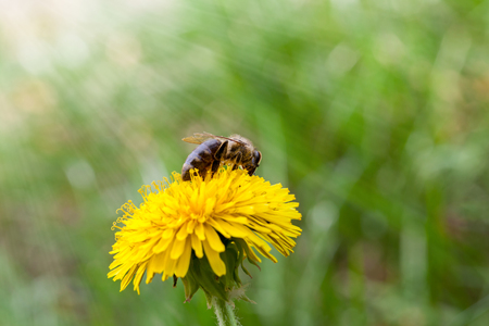 mellifera: Spring sun beams on honeybee (Apis mellifera) pollen dandelion flower Stock Photo