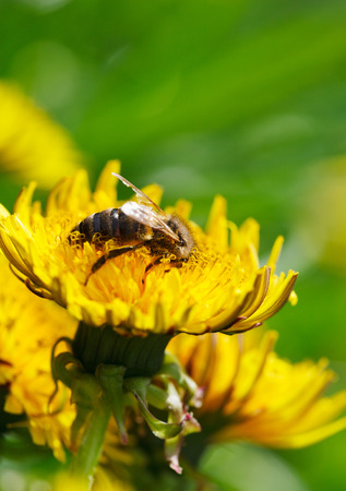 mellifera: Macro of honeybee (Apis mellifera) on dandelion flowers at spring meadow