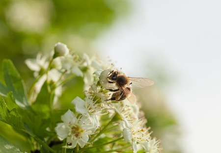 Macro of honeybee (Apis mellifera) on maythorn tree flowers in spring photo