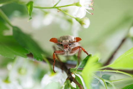 Macro en face of cockchafer (Melolontha melolontha) on flowering hawthorn (Crataegus monogyna) photo