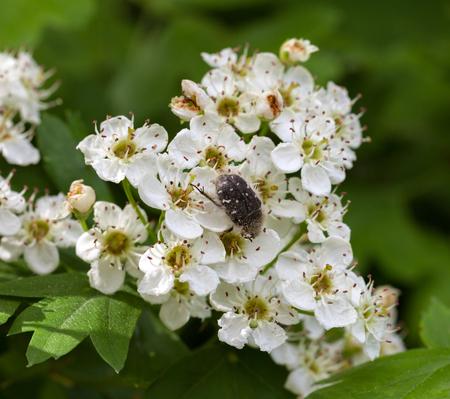 crata�gus: Primer plano de escarabajo de la flor (Tropinota hirta) en espino floraci�n (Crataegus monogyna)