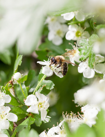 Closeup of honeybee (Apis mellifera) pollen maythorn (Crataegus monogyna) flowers photo