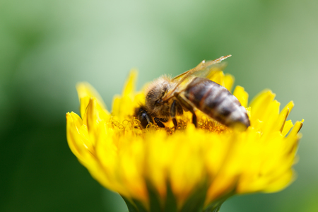 mellifera: Macro of honeybee (Apis mellifera) pollinating dandelion flower, shallow DOF Stock Photo