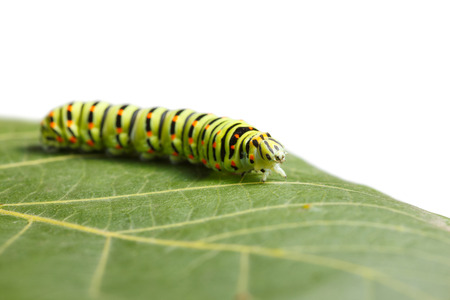 Side low angle view of vermin caterpillar on leaf isolated on white Stock fotó
