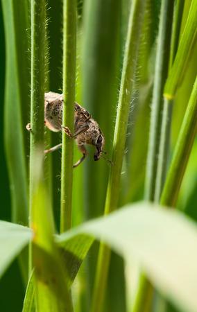 weevil: Macro of weevil (Otiorrhynchus sulcatus) hidden in cereal grass