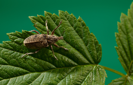 curculionidae: Macro of snout weevil (Otiorrhynchus sulcatus) on leaf, high angle view