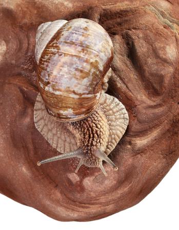 slithery: Macro of Burgundy snail (Helix pomatia) on stone, top view