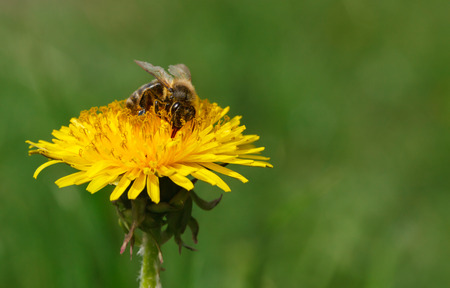 mellifera: Macro of honeybee (Apis mellifera) pollinating dandelion at spring meadow Stock Photo