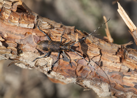 long horn beetle: Macro top view of beetle with long antennae sitting on pine trunk Stock Photo