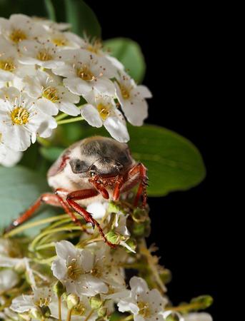 crata�gus: Maybug escarabajo Cotinis nitida en floraci�n Maythorn Crataegus monogyna aislado en negro