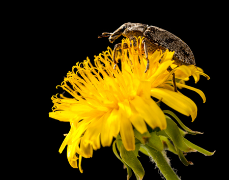 curculionidae: Macro of snout beetle (Curculionidae) climbs on dandelion flower isolated on black