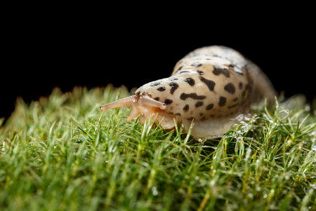 slithery: Macro low angle view portrait of Leopard Slug (Limax maximus) on mossy forest floor, isolated on black Stock Photo