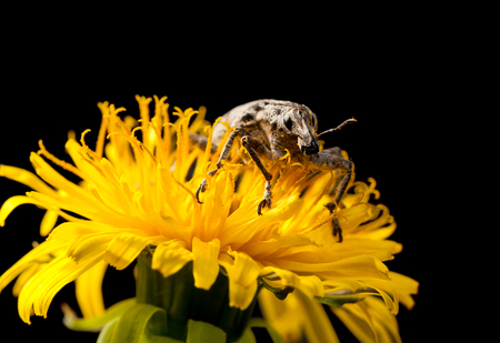 curculionidae: Macro of snout beetle (Otiorrhynchus sulcatus) front view on dandelion flower isolated on black