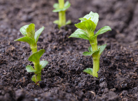 Macro of garden mint sprouts on soil at spring Stock Photo