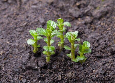 mentha: Crecimiento de menta (Mentha) brotes en tierras de cultivo en primavera